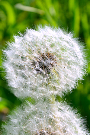two florets of a dandelion with fluffy ripened seeds