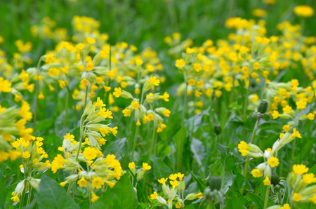 many clusters of yellow primroses in spring field