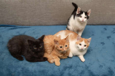 four small multicolored kittens are lying on a soft blue blanket 写真素材