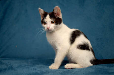 spotted black and white kitten on a blue background