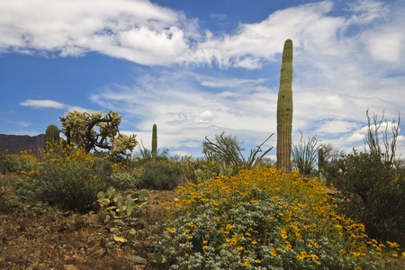 plantas del desierto: Sonoran paisaje del desierto lleno de flor brittlebush, saguaros, ocotillos, prickly pears, jojobas y cactus cholla con mullidas nubes blancas en un cielo azul.  Un pequeño trozo de picos de las montañas de superstición de Arizona?s en el horizonte. Foto de archivo