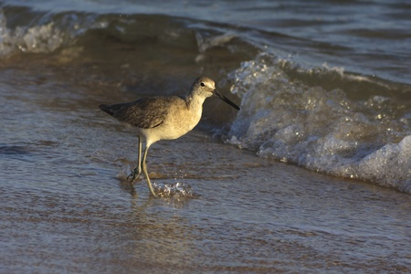 Willet fishing in Sea of Cortez.  Winter plumage. photo