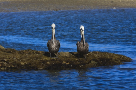 Two brown pelicans sitting on sea shore.