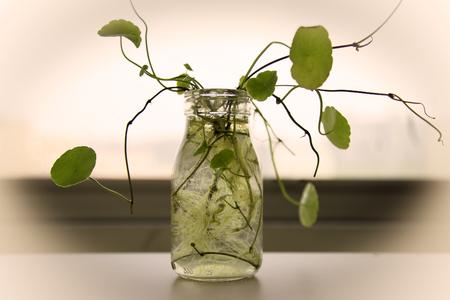 asiatica: Centella asiatica