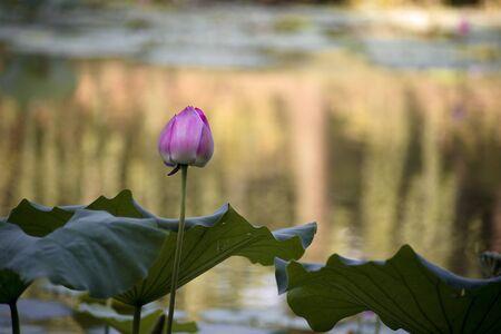 thriving: Lotus flower Stock Photo