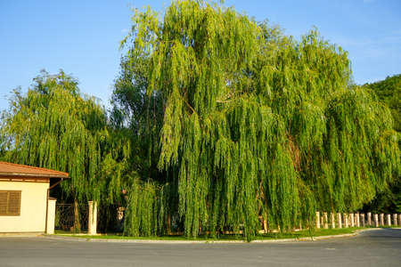 a large green crown of a weeping willow against a blue cloudless sky on a clear sunny summer day