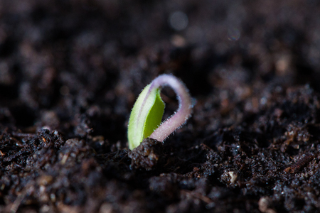 Tomato Seedling Germinating in Pot photo