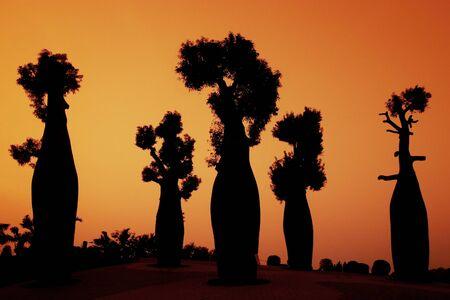 sunsets: silhouette australian baobab trees Stock Photo