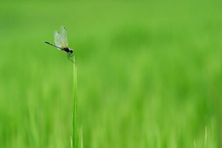 damsel: Dragonfly in paddy Stock Photo