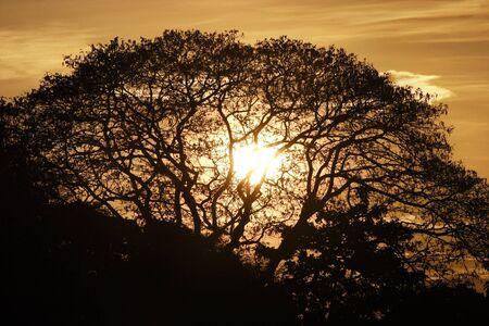 Rain tree silhouette photo