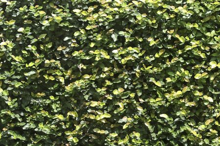 ficus: Ficus on wall