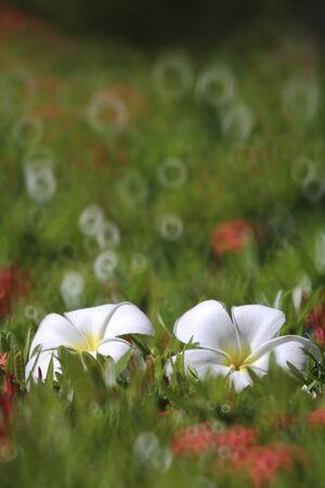 Two Frangipani flower Stock Photo - 12682996