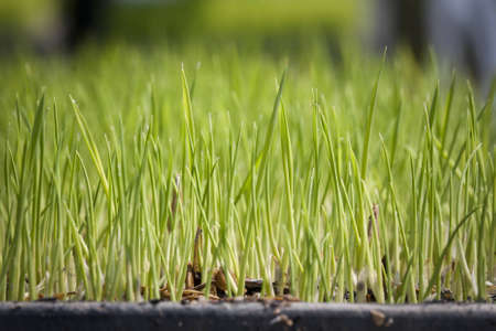Rice seedling in tray  for planter machine photo