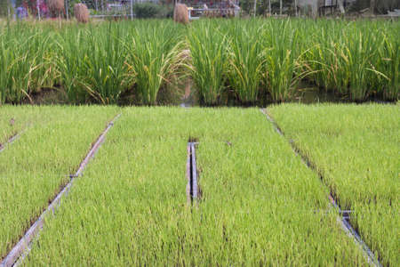Rice seedling in tray  for planter machine