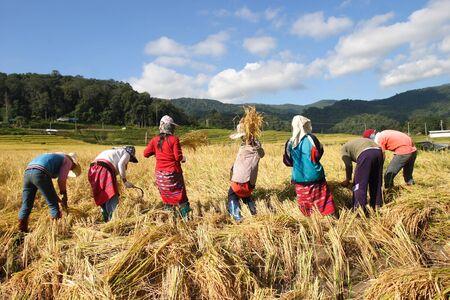 paddy fields: Rice harvesting
