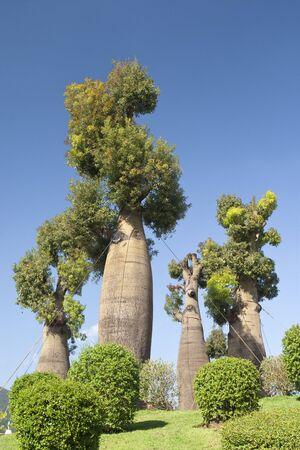 baobab: australian baobab trees in botanic garden Stock Photo