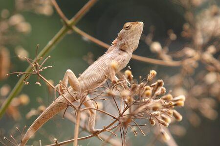Wild lizard in Thailand photo
