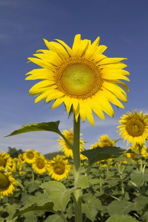 Sunflower in field Stock Photo - 13505404