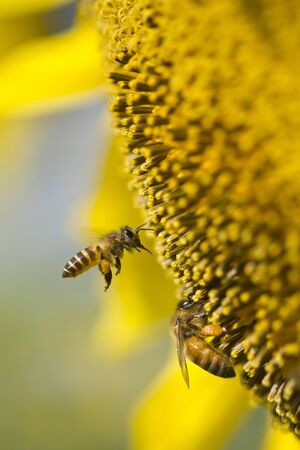 Flying bee on sunflower photo