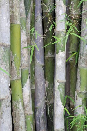 bamboo in jungle photo