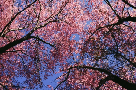 Pink sakura flowers photo