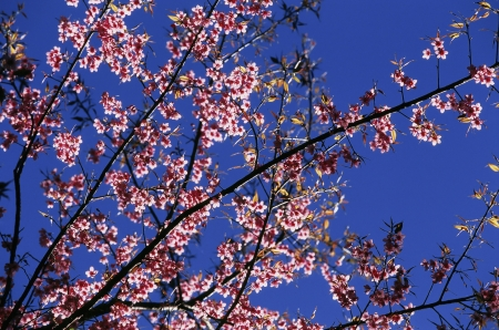 Pink sakura flowers Stock Photo - 14264798