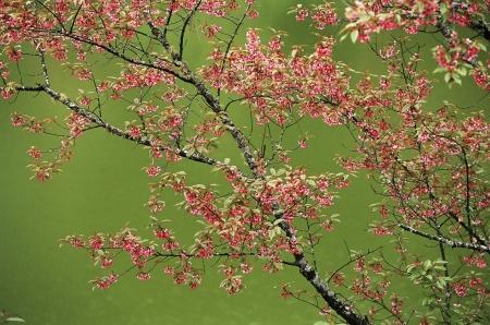 Pink sakura flowers on green lake Stock Photo - 14264806
