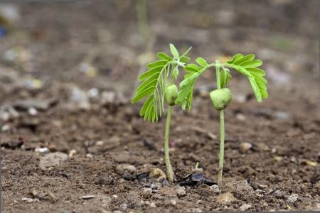 tamarindo: Tamarindo germinar en la tierra