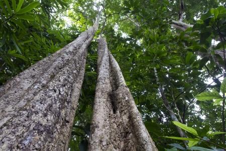 Tropical rainforest tree