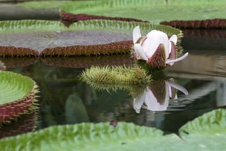 vitoria: Victoria lotus , the largest waterlily Stock Photo