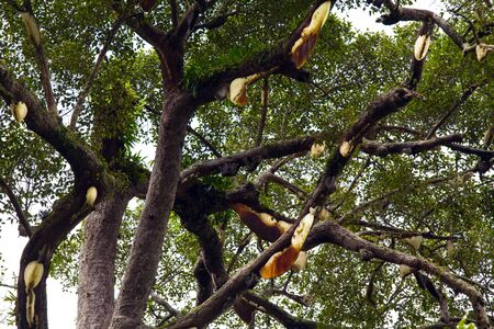 Many wild beehive hanging on tree in tropical rain forest photo