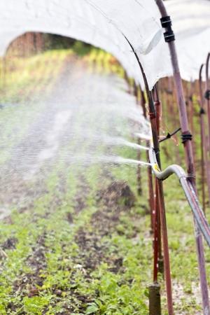 watering vegetable seedlings