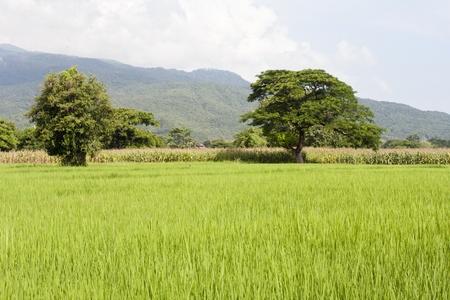 paddy fields: rice field in chiangmai  thailand Stock Photo