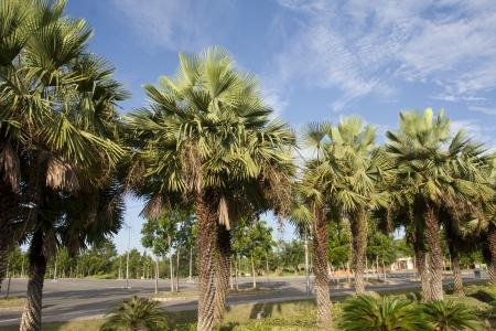 Wax palm or Carnauba , plant native in the northeastern Brazil photo