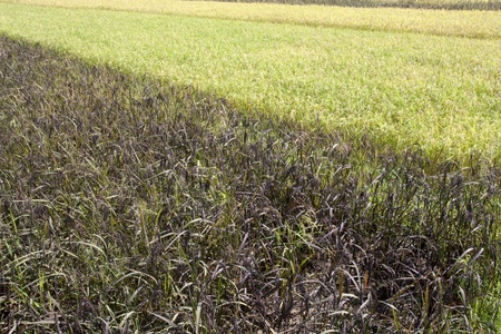black rice: White and Black rice paddy in field