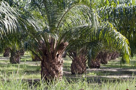 Oil Palm Plantation Stock Photo - 17438500