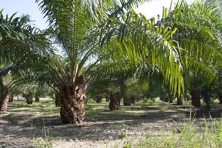 Oil Palm Plantation  Stock Photo - 17438497