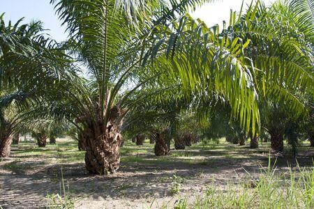 palm oil plantation: Oil Palm Plantation  Stock Photo