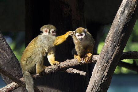 sciureus: Squirrel monkey  Saimiri sciureus , live in the tropical forests of south america Stock Photo