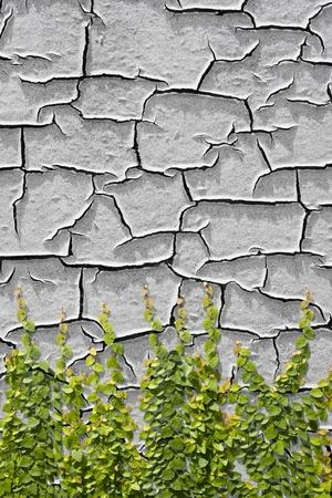 crack climbing: Climbing Ficus pumila on paint peeling off of a wall