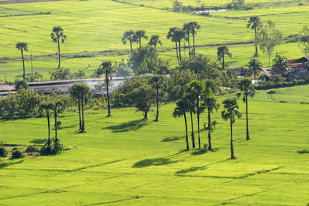 palmyra palm: Green rice field with  Palmyra palm in chiang mai,Thailand Stock Photo