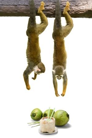 squirrel monkey: Squirrel monkey hanging above coconut.