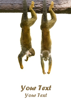 Squirrel monkeys hanging on white background photo
