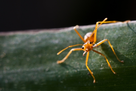 vehement: Red ant on leaf