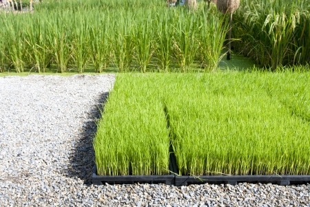 manufactor: Rice sprout in tray for planting with machine