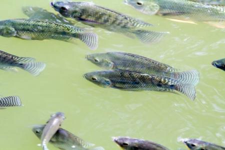 oreochromis niloticus: Tilapia Fish in farm