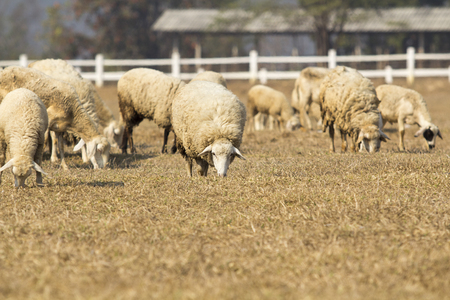are grazed: sheep grazed on a dry field in summer