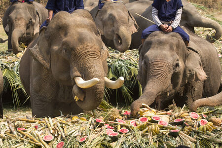 elephants eating fruits at maesa elephant camp , thailand photo