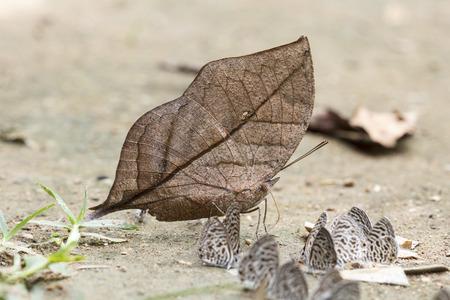 dead leaf: Orange Oakleaf or Dead Leaf  Kallima inachus  butterfly