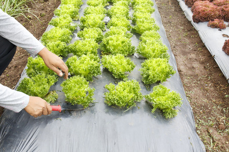 ground cover: Vegetable garden ,with plastic ground cover or weed barrier